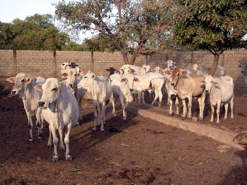 Ferme près de Ouagadougou dont le troupeau est composé uniquement de Goudali