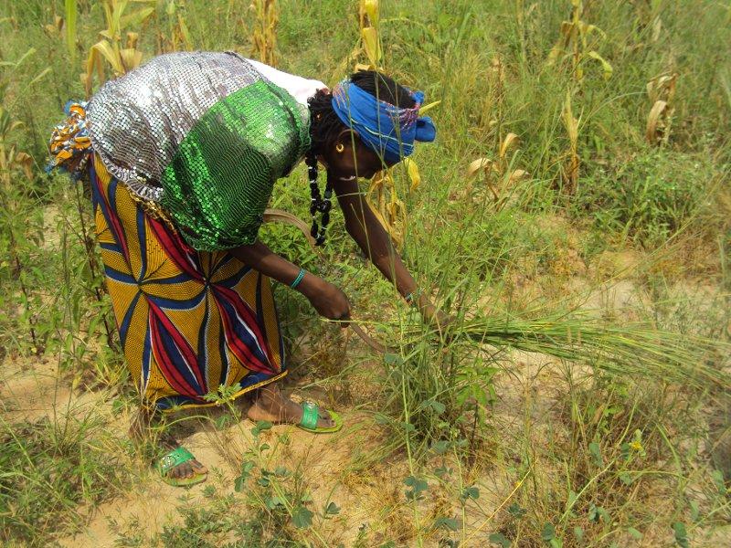 Femme peule s'initiant à la fauche du fourrage