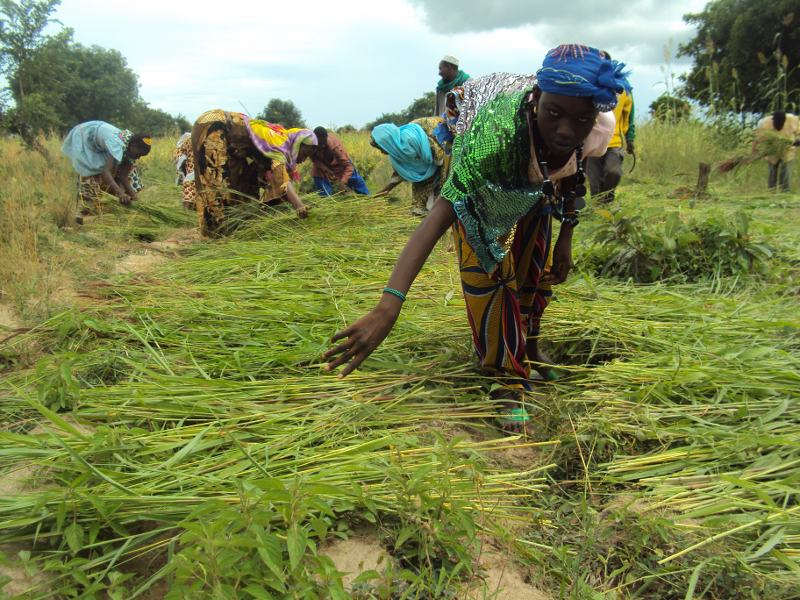 Femmes peules faisant sécher du fourrage